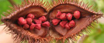 میوه آناتو