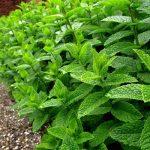بافت های گیاهی - مواد شیمیایی موجود در بافت های گیاهی - فراوان ترین ماده شیمیایی در بافت های گیاهی