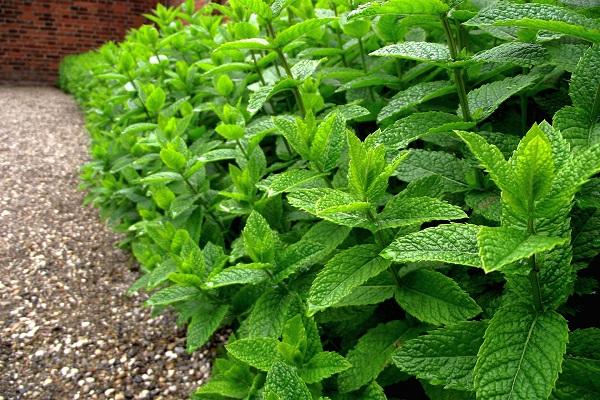 مواد شیمیایی موجود در بافت های گیاهی